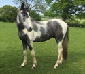 Spitfire Uk very stunning coloured warmblood