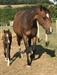 Beautiful bay filly with indoctrination blood lines