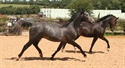 Barracuda extended trot 2008