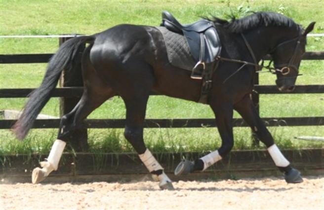 Black belgian horse